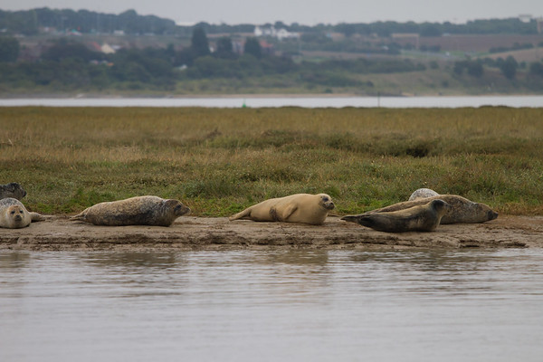 Harbour Seals Also Known As Common Seals