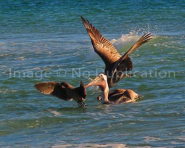Pelicans Fishing - Mexico