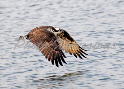 Ospry in flight_2131