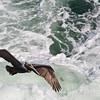 Pelican-0011