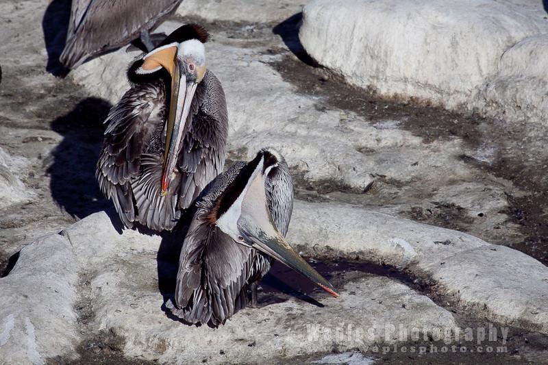 Pelican-6238