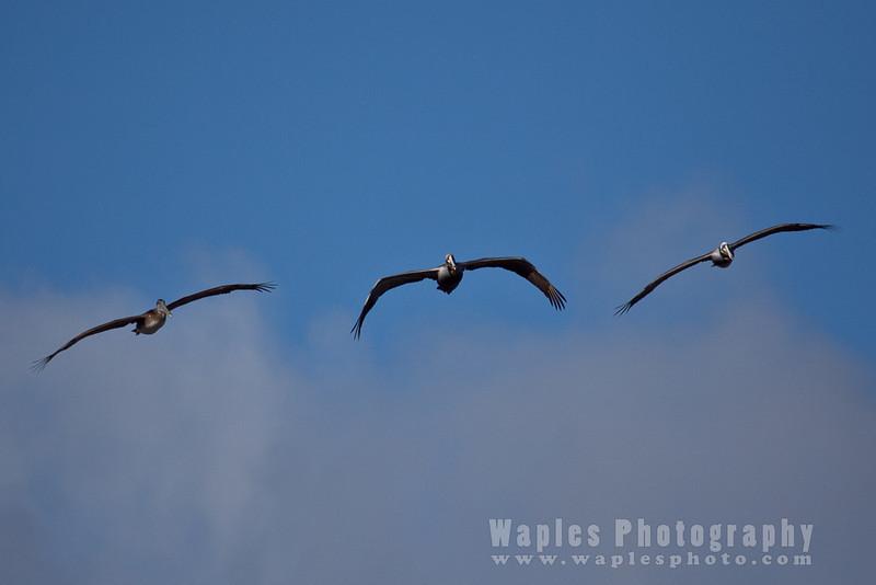 Pelican-6222