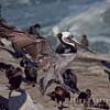 Pelican-6248