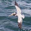 Pelican-6332