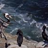 Pelican-6249