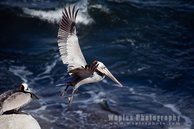 Pelican-6280