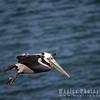 Pelican-0157