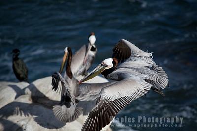 Pelicans at La Jolla Cove