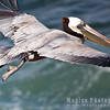 Pelican-0160