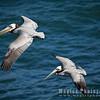 Pelican-0142