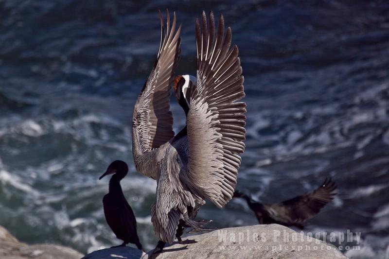 Pelican-6251