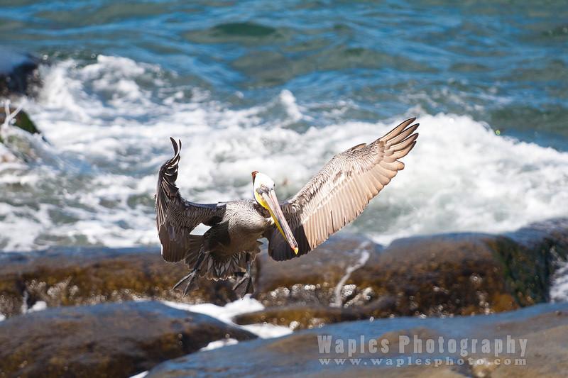 Pelican-0062