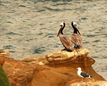 Pelicans of La Jolla