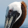 Brown Pelican (Pelecanus occidentalis) - Dania pier, Florida