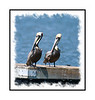 Two pelicans side by side on a pier on Chokoloskee Island in the Everglades.  View in the largest sizes to see the detail.