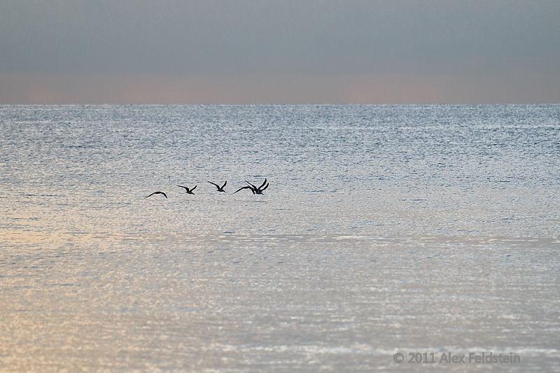 Brown pelicans<br /> Bay Harbour, FL