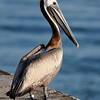 Brown pelican<br /> This is Charlie 35 at Bal Harbour, FL