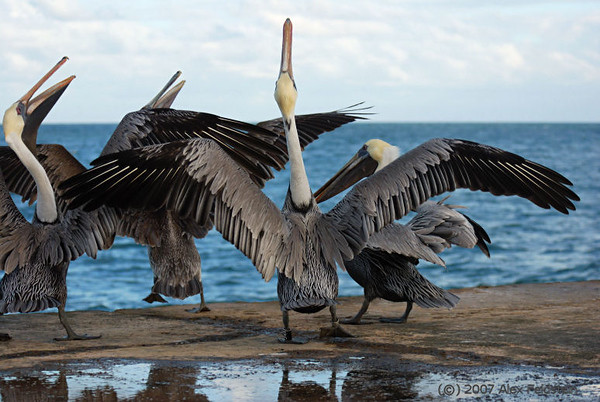 BrowBrown Pelicans (Pelecanus occidentalis) - Bal Harbour, Florida
