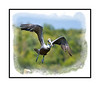 A brown pelican takes off in the Everglades.