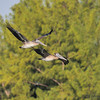 Brown pelicans<br /> Haulover Cut, FL