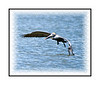 A pelican is landing in the water of the Everglades near Chokoloskee Island in Florida.  View in the larger sizes to see the detail.