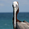 Brown Pelican (Pelecanus occidentalis) - Dania pier, Florida