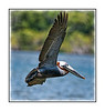 A pelican in flight over the Everglades near Chokoloskee Island; view in the largest sizes to see the detail.