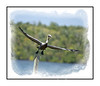 Adult breedig brown pelican taking off over the Everglades in Florida.  View in the largest sizes to see details.
