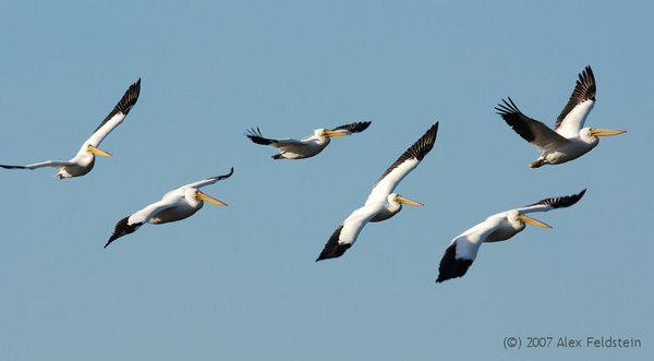 White pelicans - Merrit Island