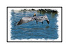 A brown pelican takes off; view this image in the largest sizes to see the details of the feathers.