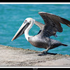 Brown Pelican (Pelecanus occidentalis) - Miami Beach
