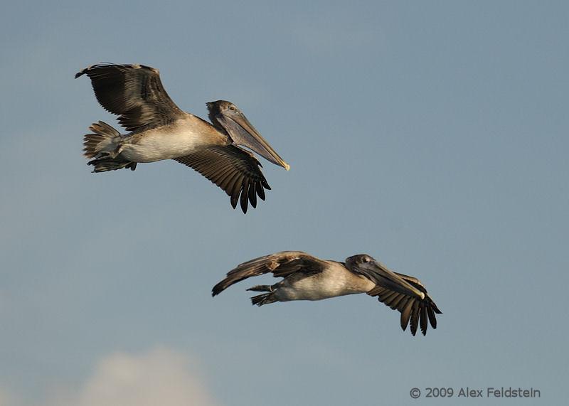 Brown pelicans<br /> Bal Harbour, FL