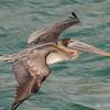 Brown Pelican (Pelecanus occidentalis) - Bal Harbour, Florida