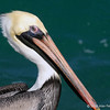 Brown pelican<br /> Bal Harbour, FL
