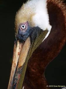 Pelican closeup