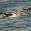 Brown pelican<br /> Bal Harbour, FL
