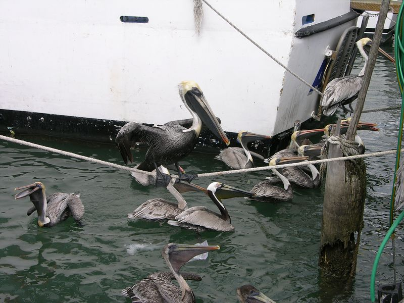 Brown Pelicans (Pelecanus occidentalis) - Haulover