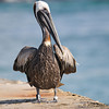 Brown pelican<br /> This is my friend Charlie 35, as his foot-tag attests<br /> He's always there at the pier. I've known him for years.
