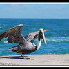 Brown Pelican (Pelecanus occidentalis) about to take off