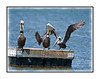 A trio of brown pelicans on a pier in the Everglades; one pelican has just landed.  View in the largest sizes to see the details.