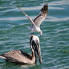 Brown pelican with a nasty gull on top