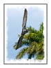 A brown pelican banks in the air over the Everglades; view this image in the largest sizes to see the details.