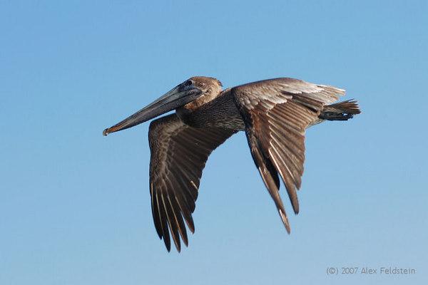 Brown Pelican (Pelecanus occidentalis) - Haulover, Florida