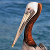 Brown pelican<br /> Haulover Cut, FL