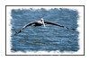 A brown pelican flying over the Everglades near Chokoloskee Island in Florida; view in the larger sizes to see the details of the bird.