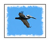 A brown pelican in flight over the Everglades