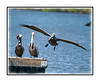 A brown pelican is about to land on a pier in the Everglades near Chokoloskee Island in Florida; view in the larger sizes for the details.