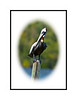 A pelican stands on a post in the marina at Chokoloskee Island in the Everglades; view in the largers sizes to see the detail of the bird.