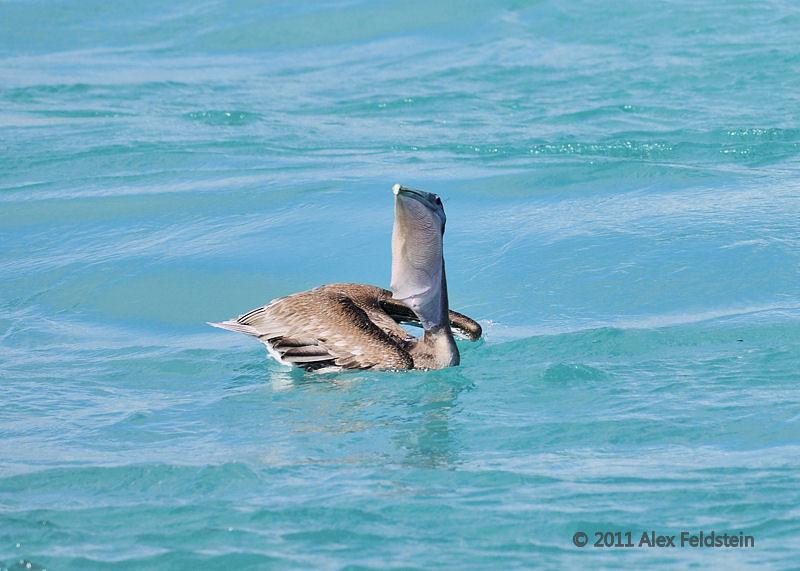 Brown pelican<br /> Haulover Cut, FL