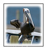A pelican on a post on Chokoloskee Island in the Everglades; view in the larger sizes to see the detail of the bird.